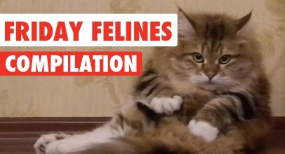 Funny Friday Felines Video Compilation 2017