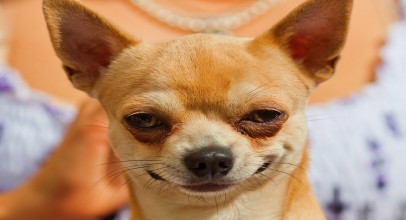 10 Funniest Chihuahua Videos