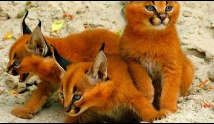 13 Rarest Cat Breeds Ever