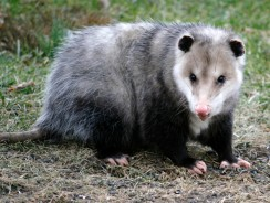 15 Amazing Facts about the Opossum