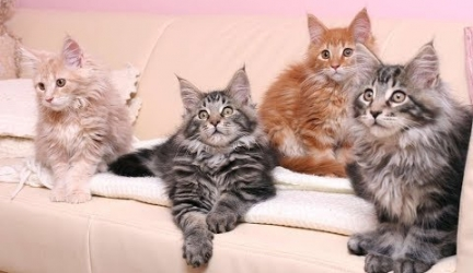 15 Beautiful Colors of a Maine Coon