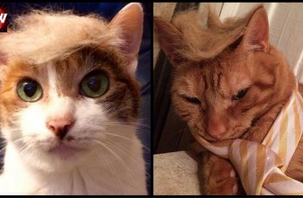 20 Cats Who Look Like Donald Trump