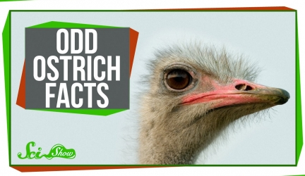 3 Odd Facts About Ostriches