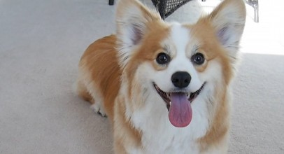 35 Corgis To Get You Through Your Day