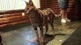 6 African Servals Rescued!