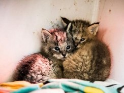 A Closer Look At 'Kittens' Found On A Dirt Road Reveals They're Not Regular Cats At All Video