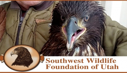 A Rescued and Saved Eagle Story for Save the Eagles Day!