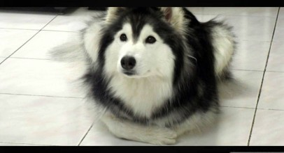 Adorable Husky Raised by Cats Acts Like a Cat