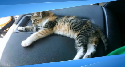 After Driver Finds Stray Kitten On Road She Falls Asleep & He Doesn't Have The Heart to Wake Her