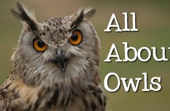 All About Owls for Kids: Backyard Bird Series – FreeSchool