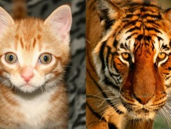 Are Domestic Cats Like Tigers?