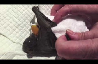 Baby Bat Drops Her Pacifier and Panics