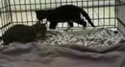 Baby Bobcat 6