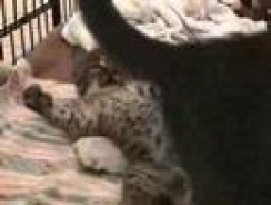 Baby Bobcat Episode 4