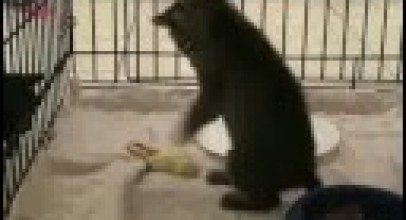 Baby Bobcat Episode 5