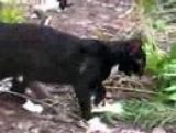 Baby Bobcat Episode 7