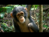 Baby Chimps Playing Hugging & Tickled CUTE Baby chimp compilation infant chimps climbing & eating