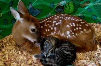 Baby Deer Mothering Baby Kitten