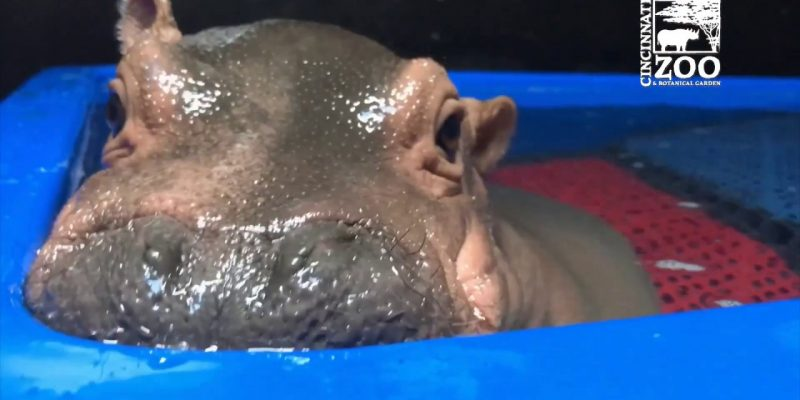Baby Hippo Fiona's Special Moments: