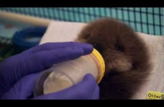 Baby otter squeaks when introduced to water