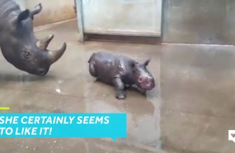 Baby Rhino's First Bath Is Pure Delight