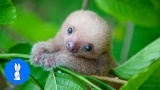 Baby Sloths Being Sloths – Animal Compilations