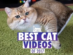 Best Cat Videos of The Year 2017