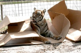 Big Cats Like Boxes Part Two