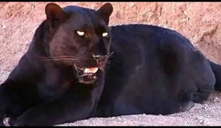 Black Panther Facts: 13 Facts about Black Panthers