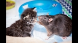 Brooklyn Cat Cafe Employs Rats To Care For Kittens | CUTE AS FLUFF