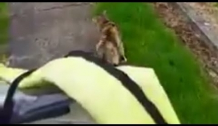 Cat Chases Down Mailman Every Day Demanding to Be Loved