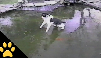 Cat Chases Fish On Frozen Pond