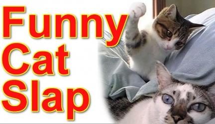 Cat Slap Compilation Funny & Cute