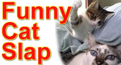 Cat Slap Compilation Funny & Cute