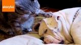 Cat Tries to Wake Dog