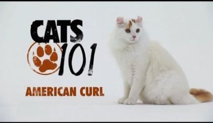 CATS 101 – American Curl