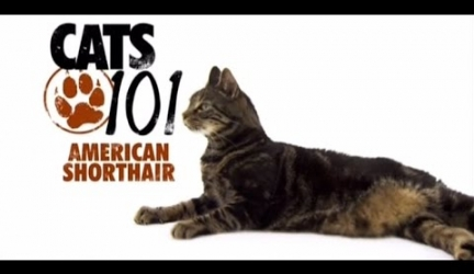 CATS 101 – American Shorthair