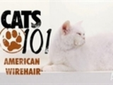 CATS 101- American Wirehair