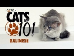 CATS 101 – Balinese