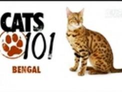 CATS 101: Bengal