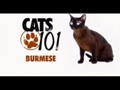 CATS 101 – Burmese