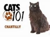 CATS 101-Chantilly