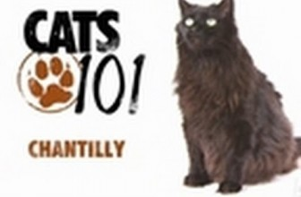 CATS 101-Chantilly