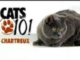 CATS 101: Chartreux