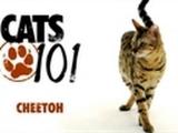 CATS 101- Cheetoh