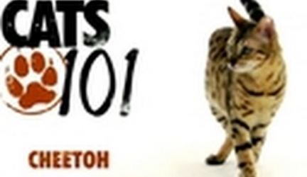 CATS 101- Cheetoh