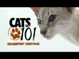 CATS 101 – Colourpoint Shorthair