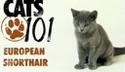 CATS 101- European Shorthair
