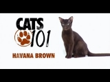 CATS 101 – Havana Brown