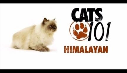 CATS 101 – Himalayan